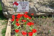 Tulip Test Gardens / by Journey North