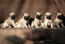 Pugs...You Gotta Love 'Em! / by Jill Shulse