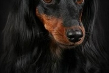 Dachshunds / Honoring Shelby (LH Blk&tan silver dapple) and Zoee (red smooth) / by Vicki Stangle