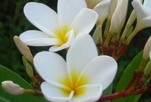 Plumeria / Naples Botanical Garden is home to the National Plumeria Collection, with over 400 plumeria in our collection! / by Naples Botanical Garden