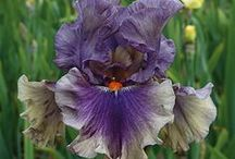 bearded iris / I hope to add these to my garden. / by Ⓢⓗⓐⓝⓝⓞⓝ