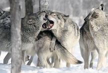 Animal Kingdom - Wolf Pack / so beautiful / by Susie