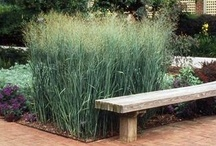 Ornamental Grasses  / These varieties work for me in zone 7 of the Pacific Northwest  / by karen colleran