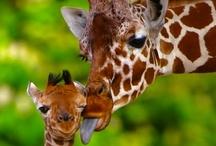 Giraffes...GIRAFFES!!! / by Susanne Dean