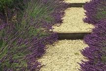 Lavender Fields Forever / by Susan Corbett