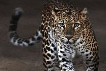 """Wild Cats  / from """"Cat Haven - Project Survival"""" ... 1. Acinonyinae (the cheetah) 2. Pantherinae (commonly called the 'big' cats) 3. Felinae (commonly called the 'small' cats) / by Ruth Shipley"""