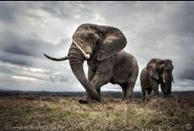Just Elephants / Awesome Elephants  / by Kimberly Hudson