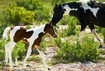 Paint/Pinto Horses / by Dianna Campbell