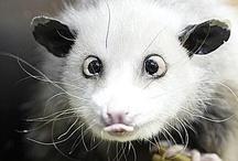 Opossum / Possum / by Bea Rud