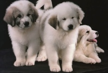 Great Pyrenees  / by Bea Rud