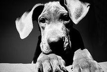 Great Dane / by Bea Rud