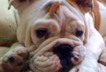 English Bulldog / by Bea Rud