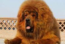Tibetan Mastiff / by Bea Rud