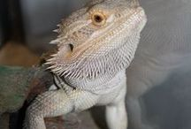 Beardie Love / Pine-Sap and all things Bearded Dragons / by Monet St. Louis