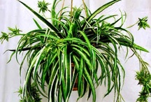 Indoor Plants for Clean Air / Why invest in expensive electrical air purifiers when you could purchase a few types of houseplants to clean and filter the air naturally and inexpensively? All indoors plants (flowering or not) are able to purify indoor air to some degree through their normal photosynthesis processes. But some were found to be more beneficial than others in removing harmful household toxins, even removing 90% of chemicals in the air in only twenty-four hours!  / by Marilyn Pabon