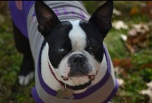 "Punky Stuff / All things dog and ""Boston"" for our Boston Terrier, Punky / by Janette Harris Phillips"