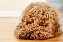 Labradoodles and Dogs I would Love / Labradoodles, Golden Doodles and other Poodle Crosses .... one day....soon I want to love one of these for myself <3 / by Alison Osborn