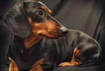 Daschunds / This is for our little Louie. He is a rescued daschund and has stolen our heart!!!!! / by Pat Kossler