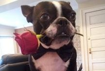 Boston Terrier / This is a tribute to our oldest dog, Kirby! On January 8th, 2013 Kirby joined all the other beloved pets in his forever home, Heaven. We love him and will miss him until it is time we join him again! / by Pat Kossler