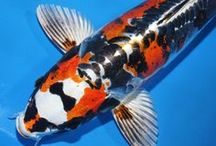 Koi Fish / by LadyDawn The Witch Writer
