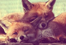 { fox } / ~ my favorite little animal ~ / by Rachael Cederberg