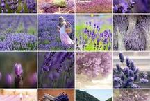 ⓔau ❀ Ꮥweet ㄥavender / Lavandula (common name Lavender)~genus of 39 species of flowering plants in mint family, Lamiaceae. Native to Old World found from Cape Verde & Canary Islands, S Europe across to N & E Africa, the Mediterranean, SW Asia to SW India. I discovered & fell in love with lavender growing wild, when living in Spain. Many members of genus are cultivated extensively in temperate climates as ornamental plants for garden & landscape use, for use as culinary herbs, & for the extraction of essential oils. / by Sandra Lee Larsen