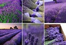 Lavande <3<3<3<3 / sa couleur, son odeur, tout ce qu'elle représente ..... la Provence <3<3<3<3<3<3 / by Martine L