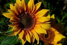 SUNFLOWERS--my fav. / I love the sunflower. It reaches to the heavens. It's such a happy flower! Remember to pin responsibly. / by Deborah Nichols