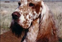 English Setter Love / by Linda Brauer