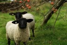sheep & shire / by Nicole LaFond