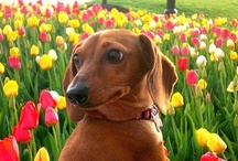 Dachshunds / by Event Decor & More