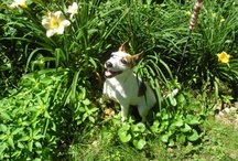 JRT Fan / Jack Russell Terriers - so adorable and so smart!  / by Heather Hulbert