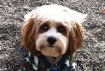 Cockapoo Blogs / If you have a blog that features a story or a posting about a Cockapoo, please email a link to be posted on our Cockapoo Blogs Board.  CockapooPlace@yahoo.com / by Cockapoo Place