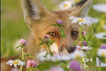 Foxes and Wolves / These beautiul wild animals need respect and protection / by Marie Helen