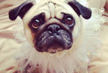 pug crazy and loving it  / Everyone's wonderful pugs / by Kim only4thatgirl