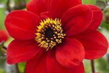 Dahlias / by National Home Gardening Club