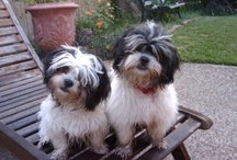 Pet Care for doggies / Caring for my Malshi pups Chloe and Bella / by Mara Nicandro LMT, NMT, MMT, NKT®, HLC1, Nctmb