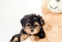 I NEED a Morkie!!  / by Taylor DeVore