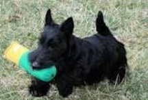 Scottish Terriers - Scotties / by Rosslyn Scottish Terriers Jenny Whitson