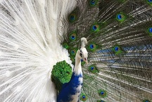Everything Peacock / Anything pertaining to peafowl / by Jen Ness