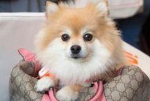 Pomeranians / Posh pom Dolce @MidtownPups / by Amy Chandra