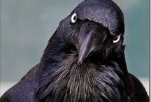 Something to Crow About / Crows and Ravens   Photos and Artwork / by Diane Gonzalez