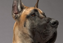 great danes , the gentle giants / by Mary C