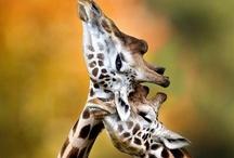 Gab Gab's Giraffes / by Tam Holwick