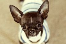 Chihuahuaholic  / For the luv of PUPS!   / by Nicole Madrid