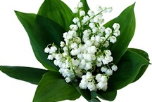 ❤ ✿Lily of the Valley✿❤ / I have found a friend in Jesus, He's everything to me, He's the fairest of ten thousand to my soul; The Lily of the Valley, in Him alone I see All I need to cleanse and make me fully whole. In sorrow He's my comfort, in trouble He's my stay; He tells me every care on Him to roll.  / by Linda And Rudy