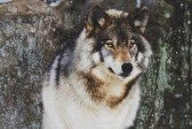 Wolf / The spirit of the wild. / by Skyler Tilley