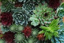 Succulents / Succulents, duh / by Chris Hickey