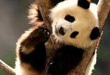 Panda-monium! / Everything to do with pandas, just because they're adorable! / by Liz Jackson