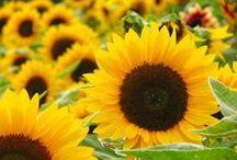 Sunflowers / by Ladybug Wreaths, Nancy Alexander
